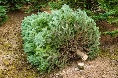 cut christmas tree utah the trendy new way to buy a real tree deseret news