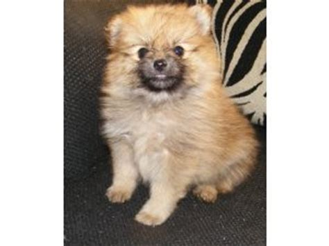 pomeranian puppies jackson ms pomsky puppies for sale in hattiesburg ms breeds picture