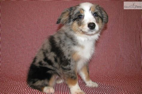 miniature australian shepherd puppies mini australian shepherd puppy a few of my favorite things mini