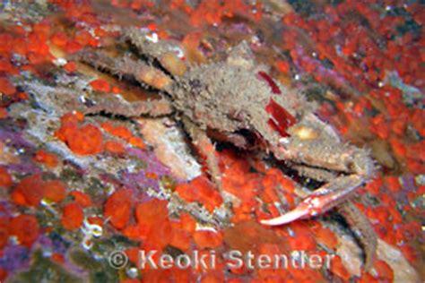 Graceful Decorator Crab by Graceful Decorator Crab Oregonia Gracilis