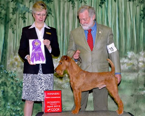 terrier show image gallery honey terriers