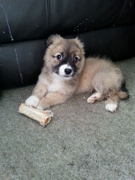 pomeranian cross for sale pomeranian cross for sale leicester leicestershire pets4homes