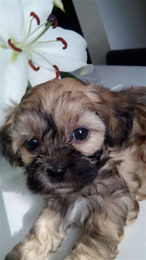 shih tzu cross poodle puppies poodle cross shih tzu puppies quot quot quot quot quot ready to go quot quot quot stockport greater manchester