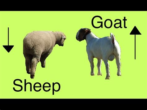 new year goat vs sheep sheep and goat secrets differences