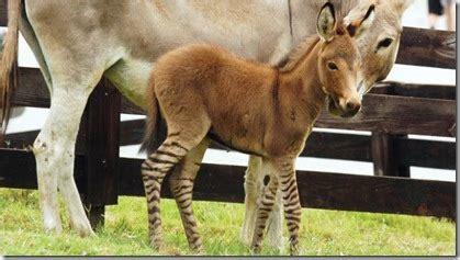 donkey zebra mating scandal