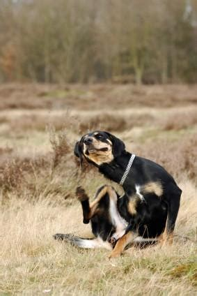 how to get fleas dogs how to get rid of fleas on dogs