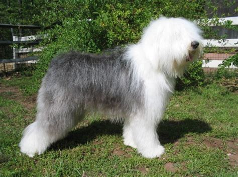 cocos grandes y peludos las mejores fotos de razas de perros grandes adultos