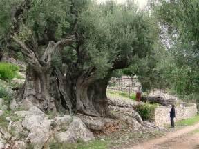 olive tree plantzee necessary information on olive tree