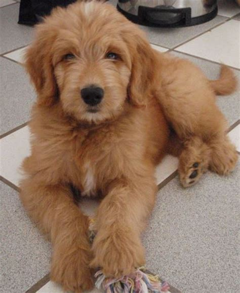 goldendoodle puppy cost goldendoodle photos jpg
