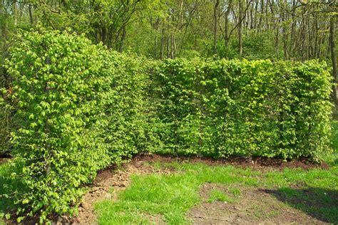 hornbeam hedging instant hedging hedges hornbeam