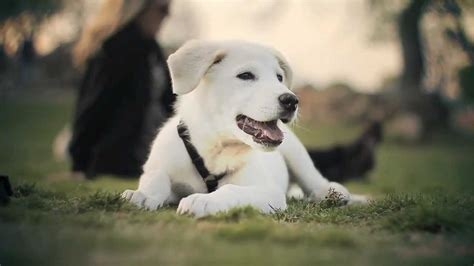 great pyrenees lab mix puppies great pyrenees lab mix relaxes at the park the daily puppy