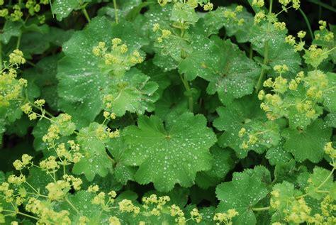 plant of the month alchemilla mollis thriller