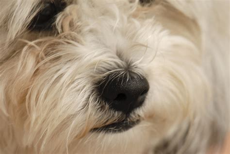 pseudopregnancy in dogs how to tell if a is a false pregnancy animals me