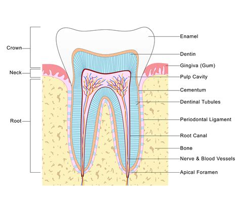 dental diagram uncategorized archives vacendak dentistry