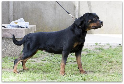 german rottweiler colors german rottweiler breeders wallpaper