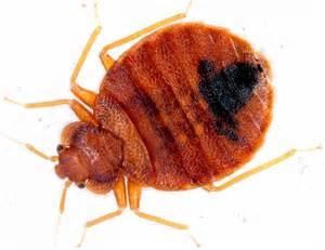 laboratoire de diagnostic insecte punaise de lit