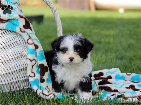 aussiedoodle puppies for sale pa 17 best images about loving designer puppies for sale on morkie puppies