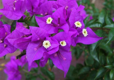 tanaman  bunga  cocok ditanam  depan rumah