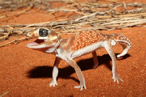 Knob Tailed Geckos ag reader photo knob tailed gecko australian geographic
