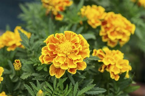plants blooming marigold plants not flowering reasons marigolds are not