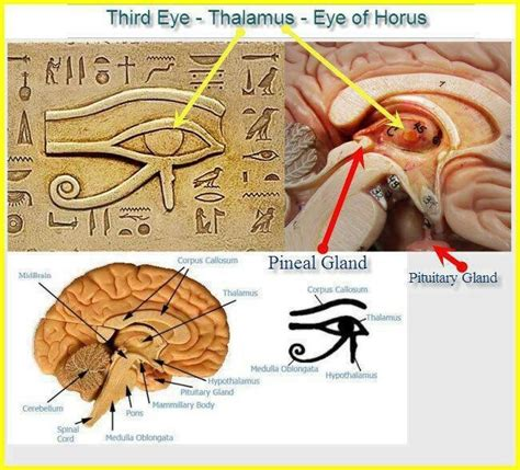 Vcd Original The Third Eye eye of horus eye of ra thalamus pineal gland third eye symbol pineal gland