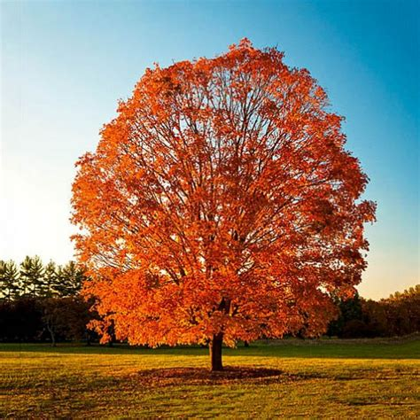 maple tree nc sugar maple for sale the tree center