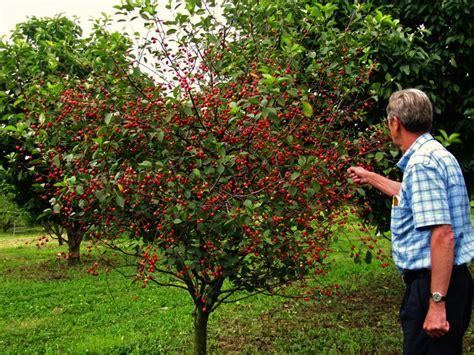 cherry tree investments вишня владимирская описание и характеристика сорта достоинства и недостатки особенности