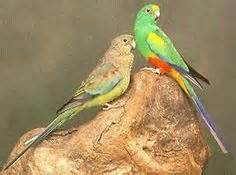 birds for sale san diego male red rump parakeet opaline parakeet and on