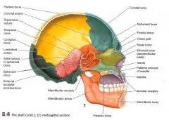sagittal section of the skull the gallery for gt sagittal view of skull