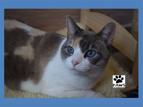 naming your calico cat name ideas for calico cats page 1 pet of the week rexie a dilute calico cat for adoption