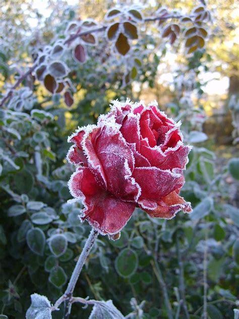 rosa d inverno fiore fiore gelo invernale rosa leann freddo scaricare