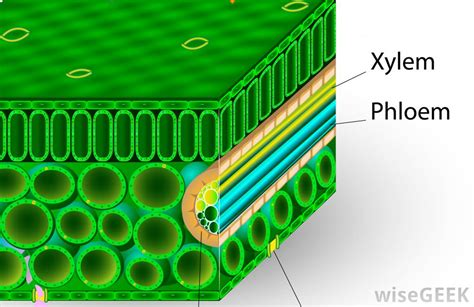 Xylem Papercraft - what is phloem with picture
