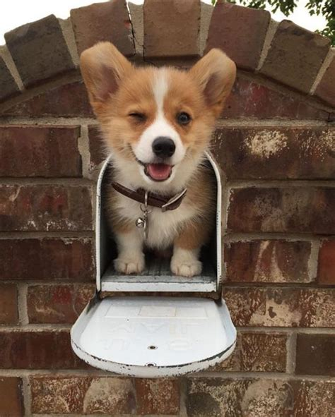 best food for corgi puppy best 25 corgis ideas on corgi corgi puppies and corgi