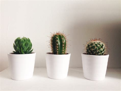 Ideas For Kitchen Themes by Cactus Google Search Cactusxs Pinterest Cacti And Plants