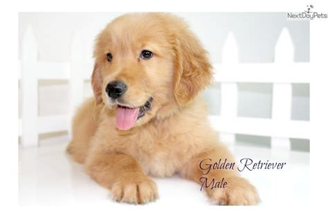 golden retriever puppies for sale san diego golden retriever puppy for sale near san diego california 8f42681d 8541