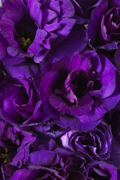 Purple Lisianthus   new favorite flower!   Kristina's