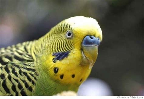 gabbia cocorita cocorite uccelli esotici allevare le cocorite