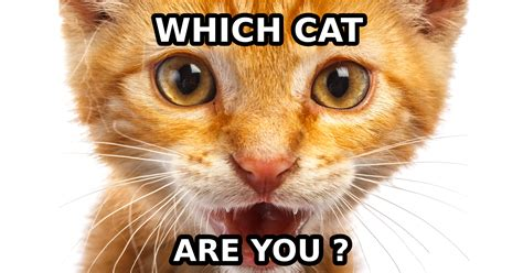 which breed are you what cat breed are you question 6 are you