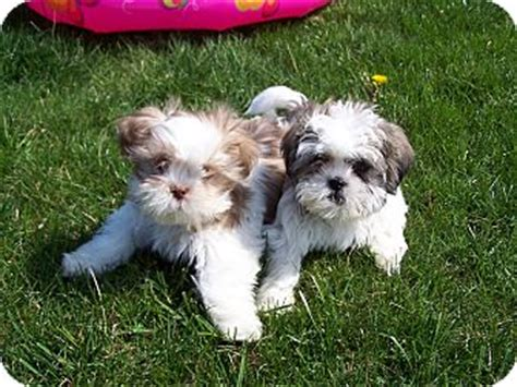 shih tzu in nj dre adopted adopted puppy milford nj