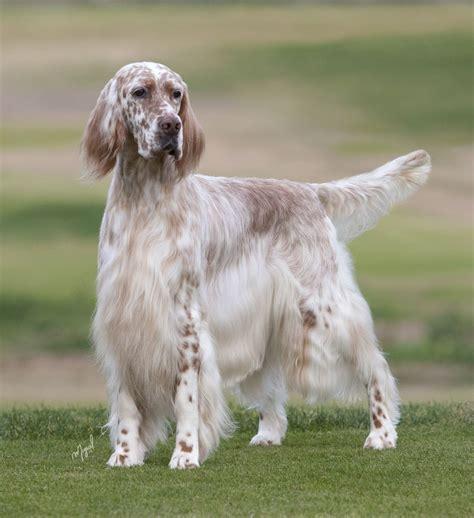 lemon setter dog english setter the english setter is an elegant gundog