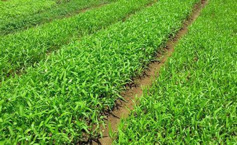 cara budidaya kangkung di lahan pertanian kaskus