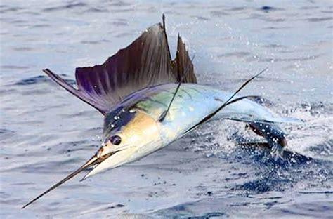 Patung Ikan Marlin Dan Layaran 26 manfaat dan khasiat ikan marlin biru untuk kesehatan