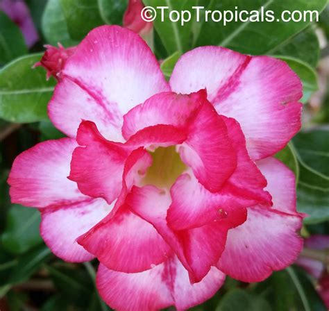 Desert Rose Chandra Adenium Hybrid » Home Design 2017