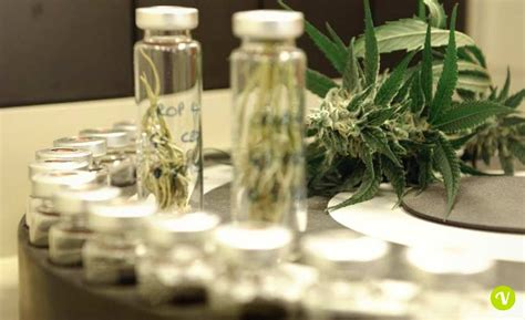 olio di fiori di canapa olio di fiori di canapa i benefici per la cura contro i