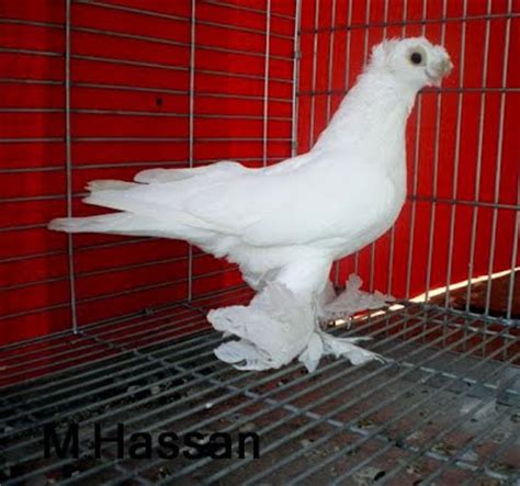 uzbek pigeons pigeon photos pigeons for sale white uzbek tumbler