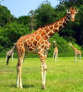 la girafe les beaut 233 s du monde animal