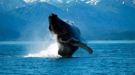 imagenes impresionantes de ballenas fotos de ballenas im 225 genes y fotos