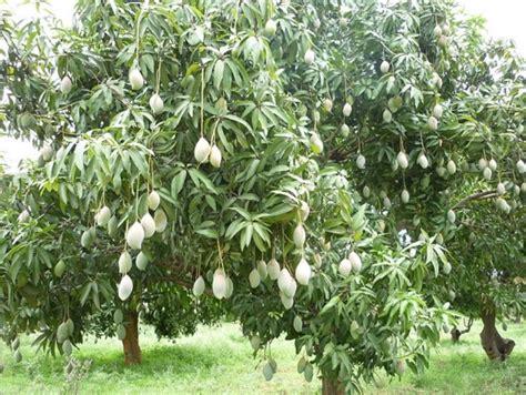 tutorial gambar pohon mangga cara menanam pohon mangga dari biji bibitbunga com