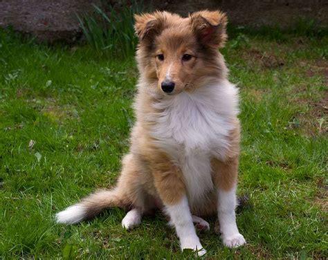 cani consigliati per appartamento da pastore scozzese shetland scheda razza su cani it