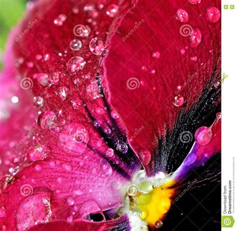 ricerca sui fiori gocce di pioggia sui petali fiore immagini stock